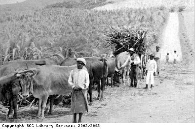Carrying sugar cane to the mill