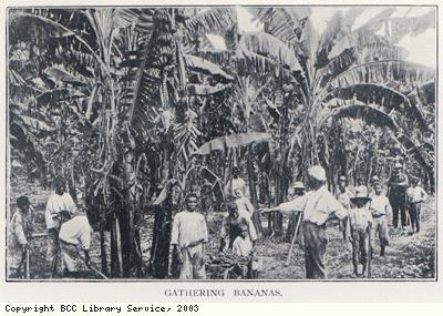 Gathering bananas
