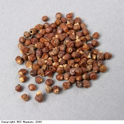 Guinea grains, a type of pepper from West Africa