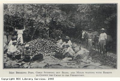 Preparing harvested cocoa beans